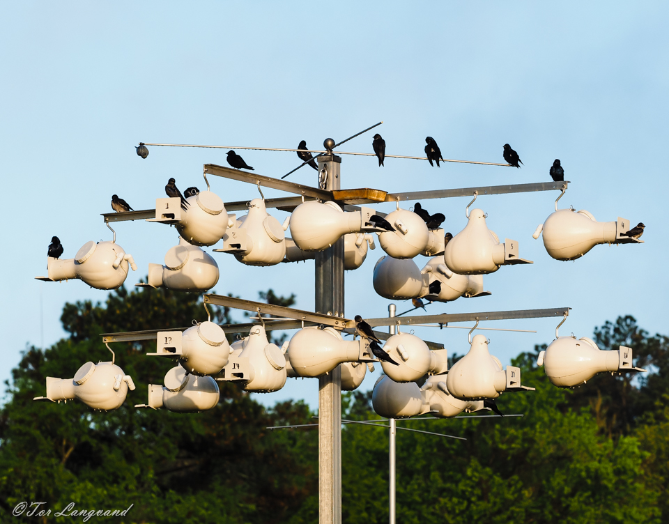 Purple Martins 2016